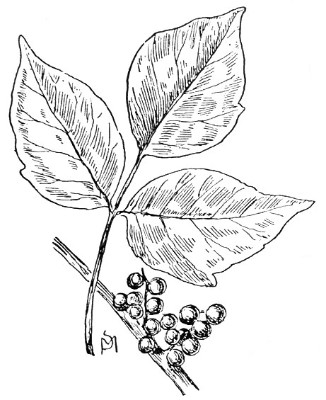 Posion Ivy Colouring Pages Poison Coloring Page